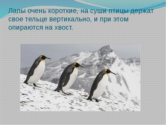 Лапы очень короткие, на суши птицы держат свое тельце вертикально, и при этом...
