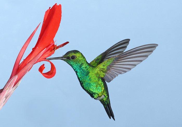 Колибри и цветы фотографа Грэм Гая.