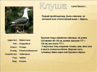 Larus fuscus L. Крупная птица семейства чайковых, её длина составляет 48—56с