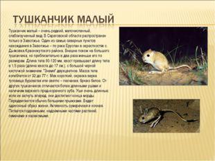 Тушканчик малый – очень редкий, малочисленный, слабоизученный вид. В Саратовс