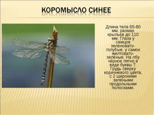 Длина тела 65-80 мм, размах крыльев до 110 мм. Глаза у самцов зеленовато-голу