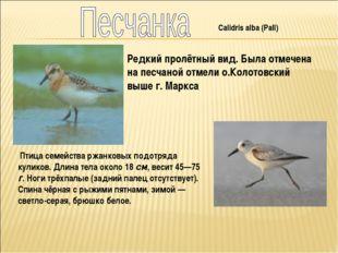Calidris alba (Pall) Редкий пролётный вид. Была отмечена на песчаной отмели о