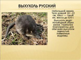 Небольшой зверёк. Тело длиной 18—22 см, хвост — такой же, масса до 520 г. Вых