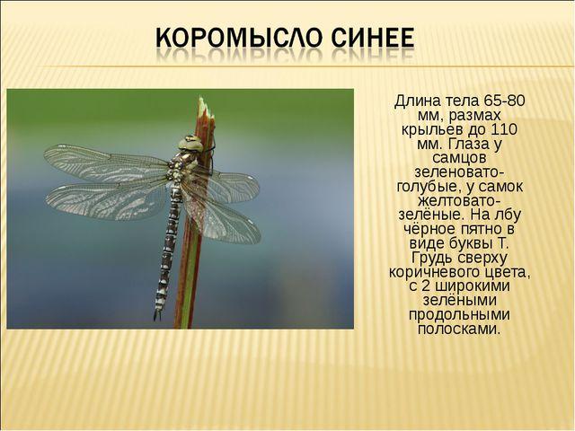 Длина тела 65-80 мм, размах крыльев до 110 мм. Глаза у самцов зеленовато-голу...