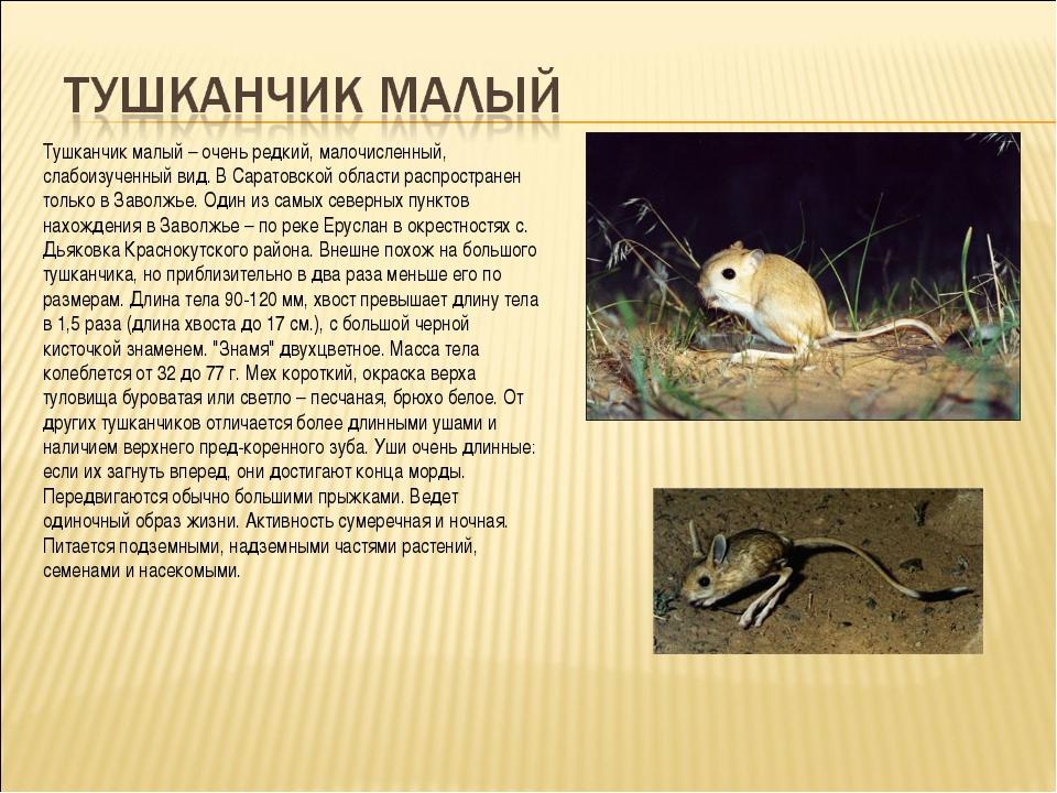 Тушканчик малый – очень редкий, малочисленный, слабоизученный вид. В Саратовс...