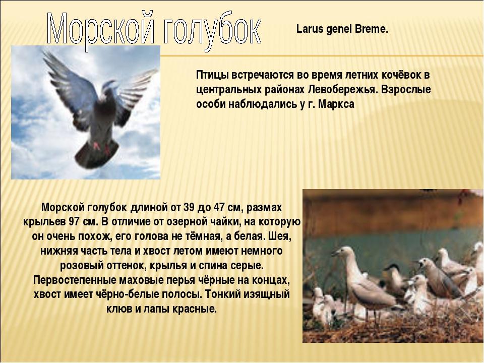 Larus genei Breme. Птицы встречаются во время летних кочёвок в центральных ра...