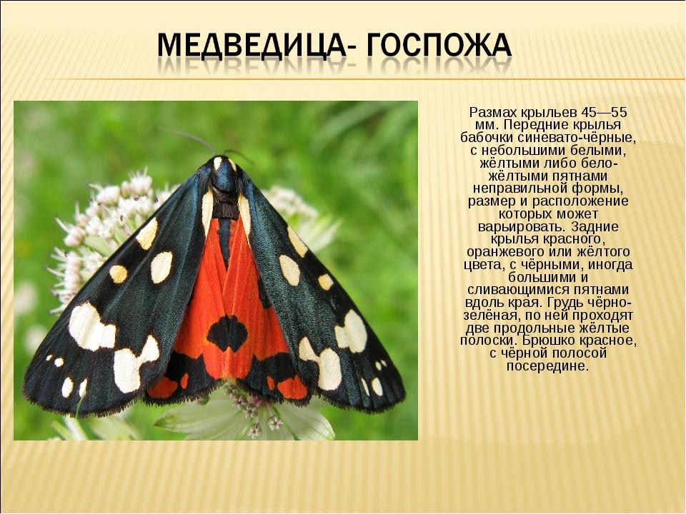 Размах крыльев 45—55 мм. Передние крылья бабочки синевато-чёрные, с небольшим...