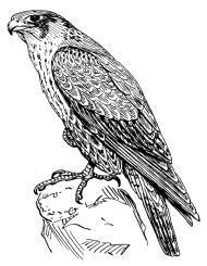 http://www.vanishingtattoo.com/tds/images/falcon/falcon_large/falcon_hawk_006.jpg