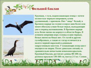 Большой баклан Крупная, с гуся, водоплавающая птица с почти полностью черным