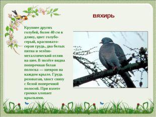 вяхирь Крупнее других голубей, более 40см в длину, цвет голубо-серый, красно