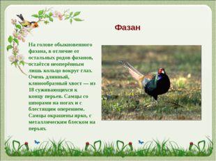 Фазан На голове обыкновенного фазана, в отличие от остальных родов фазанов, о