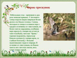 Чирок-трескунок Небольшая утка - примерно в два раза меньше кряквы. У весен