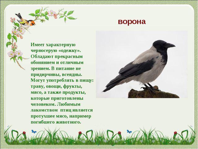 ворона Имеет характерную черносерую «одежку». Обладают прекрасным обонянием и...