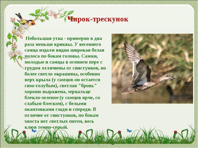 Чирок-трескунок Небольшая утка - примерно в два раза меньше кряквы. У весен...