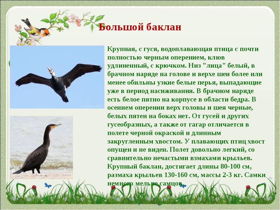 Большой баклан Крупная, с гуся, водоплавающая птица с почти полностью черным...
