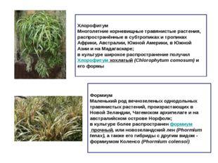 Хлорофитум Многолетние корневищные травянистые растения, распространённые в с