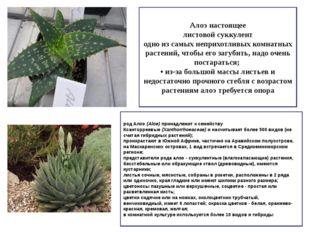 Алоэ настоящее листовой суккулент одно из самых неприхотливых комнатных расте