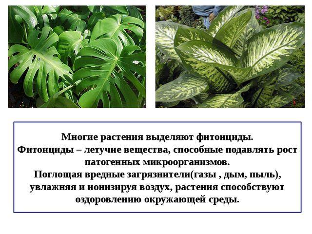 Многие растения выделяют фитонциды. Фитонциды – летучие вещества, способные п...