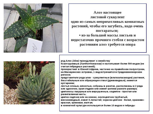 Алоэ настоящее листовой суккулент одно из самых неприхотливых комнатных расте...