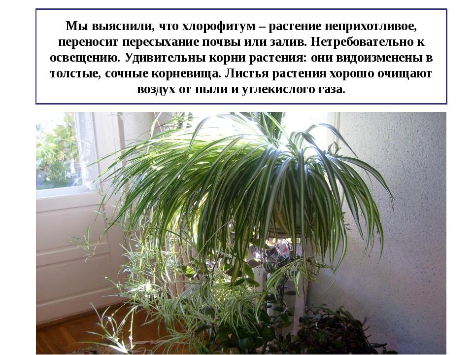 Мы выяснили, что хлорофитум – растение неприхотливое, переносит пересыхание п...