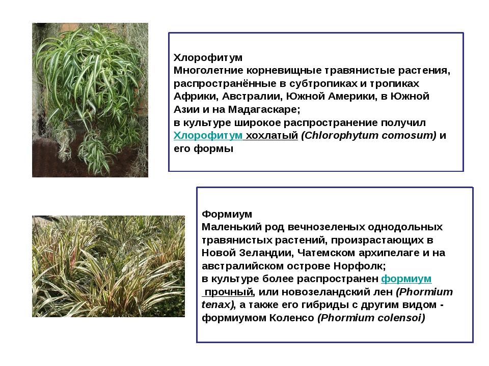 Хлорофитум Многолетние корневищные травянистые растения, распространённые в с...