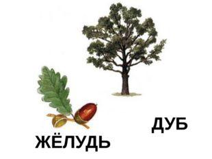 ЖЁЛУДЬ ДУБ