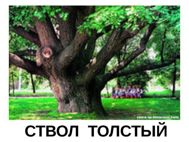 СТВОЛ ТОЛСТЫЙ
