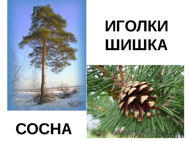 СОСНА ИГОЛКИ ШИШКА