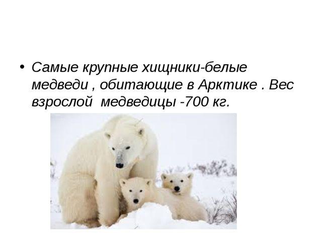 Самые крупные хищники-белые медведи , обитающие в Арктике . Вес взрослой мед...