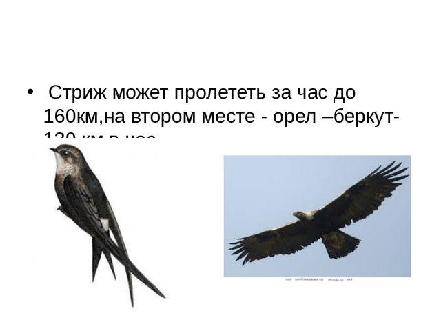 Стриж может пролететь за час до 160км,на втором месте - орел –беркут-130 км...