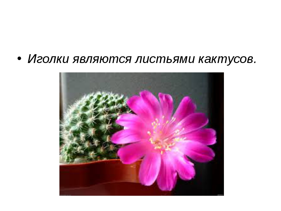 Иголки являются листьями кактусов.