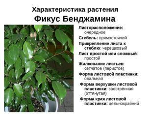 Характеристика растения Фикус Бенджамина Листорасположение: очередное Стебель