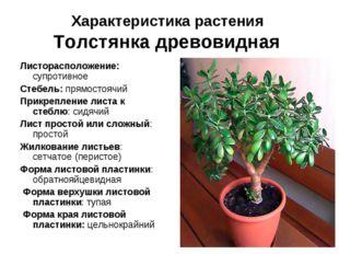 Характеристика растения Толстянка древовидная Листорасположение: супротивное
