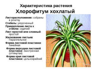Характеристика растения Хлорофитум хохлатый Листорасположение: собраны в розе