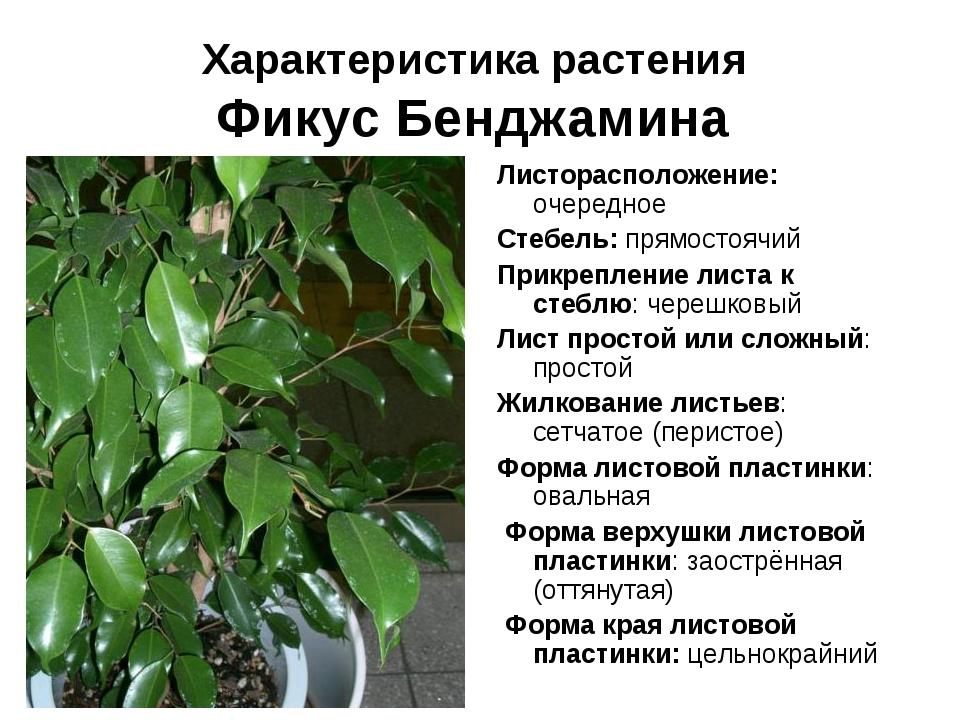 Характеристика растения Фикус Бенджамина Листорасположение: очередное Стебель...