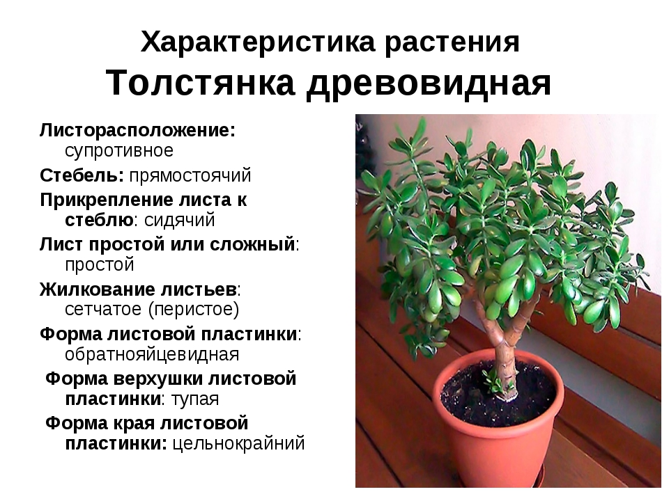 Характеристика растения Толстянка древовидная Листорасположение: супротивное...