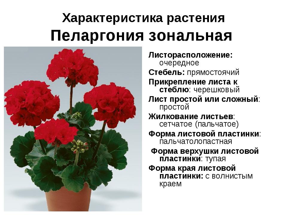Характеристика растения Пеларгония зональная Листорасположение: очередное Сте...