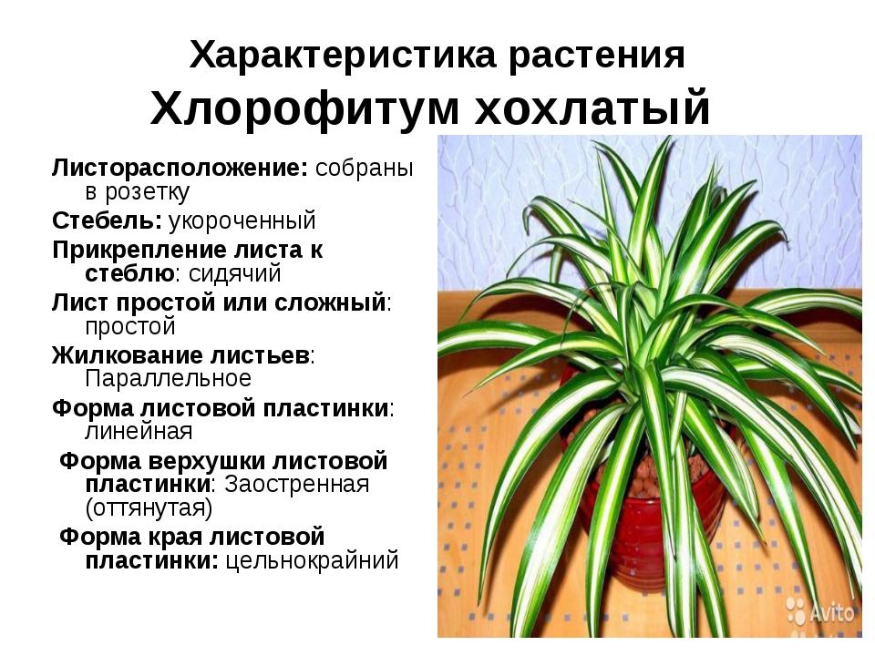 Характеристика растения Хлорофитум хохлатый Листорасположение: собраны в розе...