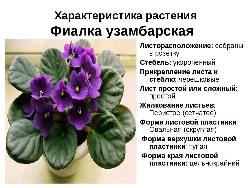 Характеристика растения Фиалка узамбарская Листорасположение: собраны в розет...