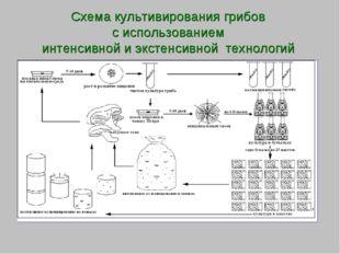Схема культивирования грибов с использованием интенсивной и экстенсивной техн