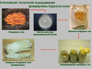 Интенсивная технология выращивания фламмулины бархатистоножковой Плодовые тел