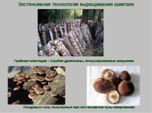 Экстенсивная технология выращивания шиитаке Грибная плантация : отрубки древе