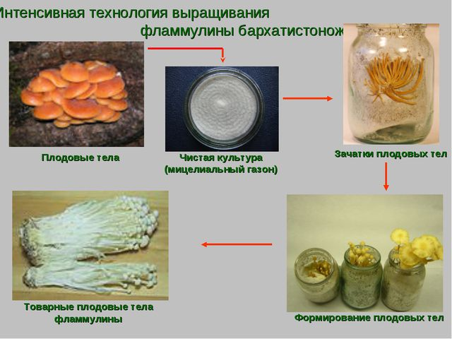 Интенсивная технология выращивания фламмулины бархатистоножковой Плодовые тел...