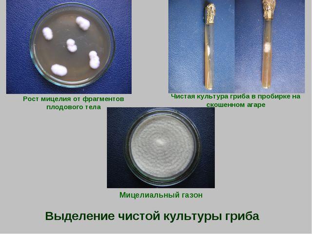 Выделение чистой культуры гриба Рост мицелия от фрагментов плодового тела Чис...