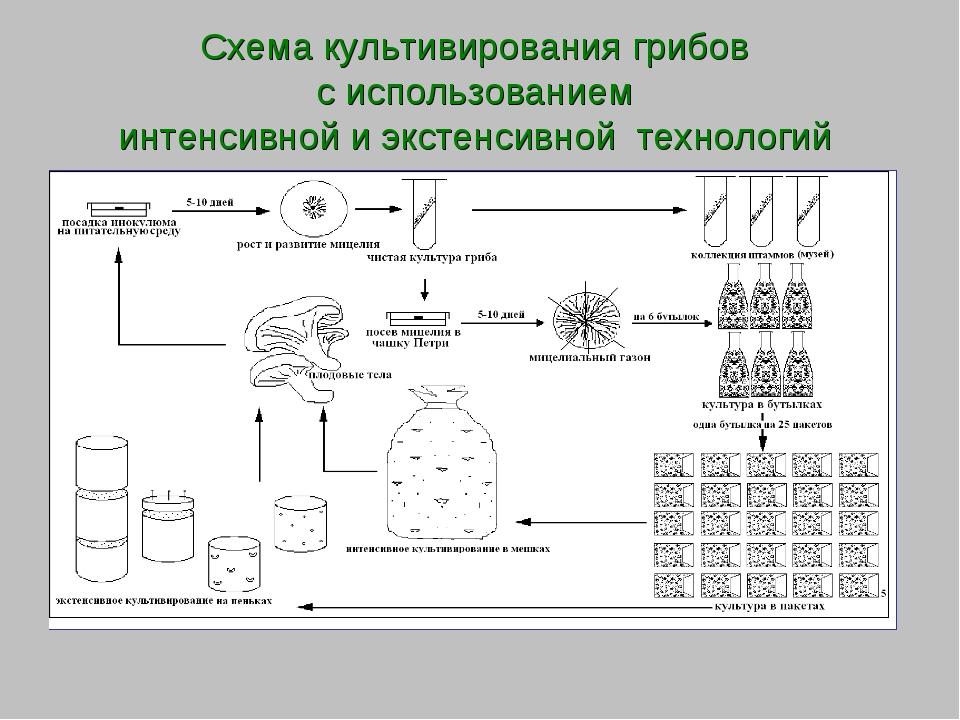 Схема культивирования грибов с использованием интенсивной и экстенсивной техн...