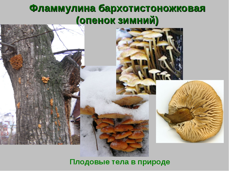 Фламмулина бархотистоножковая (опенок зимний) Плодовые тела в природе