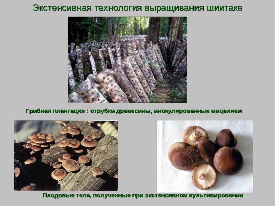 Экстенсивная технология выращивания шиитаке Грибная плантация : отрубки древе...