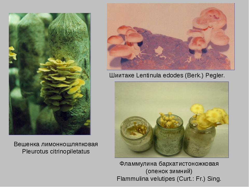 Вешенка лимонношляпковая Pleurotus citrinopiletatus Шиитаке Lentinula edodes...