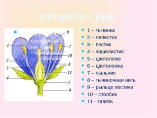 ПРОВЕРЬ СЕБЯ 1 – тычинка 2 – лепесток 3 – пестик 4 – чашелистик 5 – цветоложе