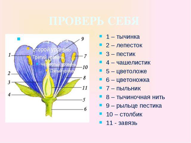 ПРОВЕРЬ СЕБЯ 1 – тычинка 2 – лепесток 3 – пестик 4 – чашелистик 5 – цветоложе...